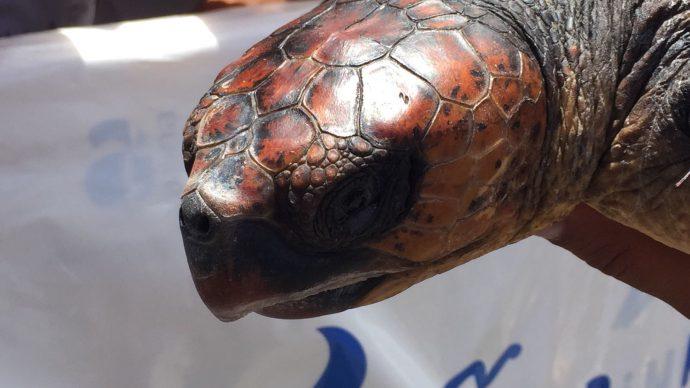 """Unechte Karettschildkröte """"Viky"""" kehrt ins Meer zurück – Aktion im Internationalen Jahr des nachhaltigen Tourismus"""
