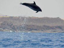 Delfine auf Teneriffa beobachten – auf keinen Fall verpassen